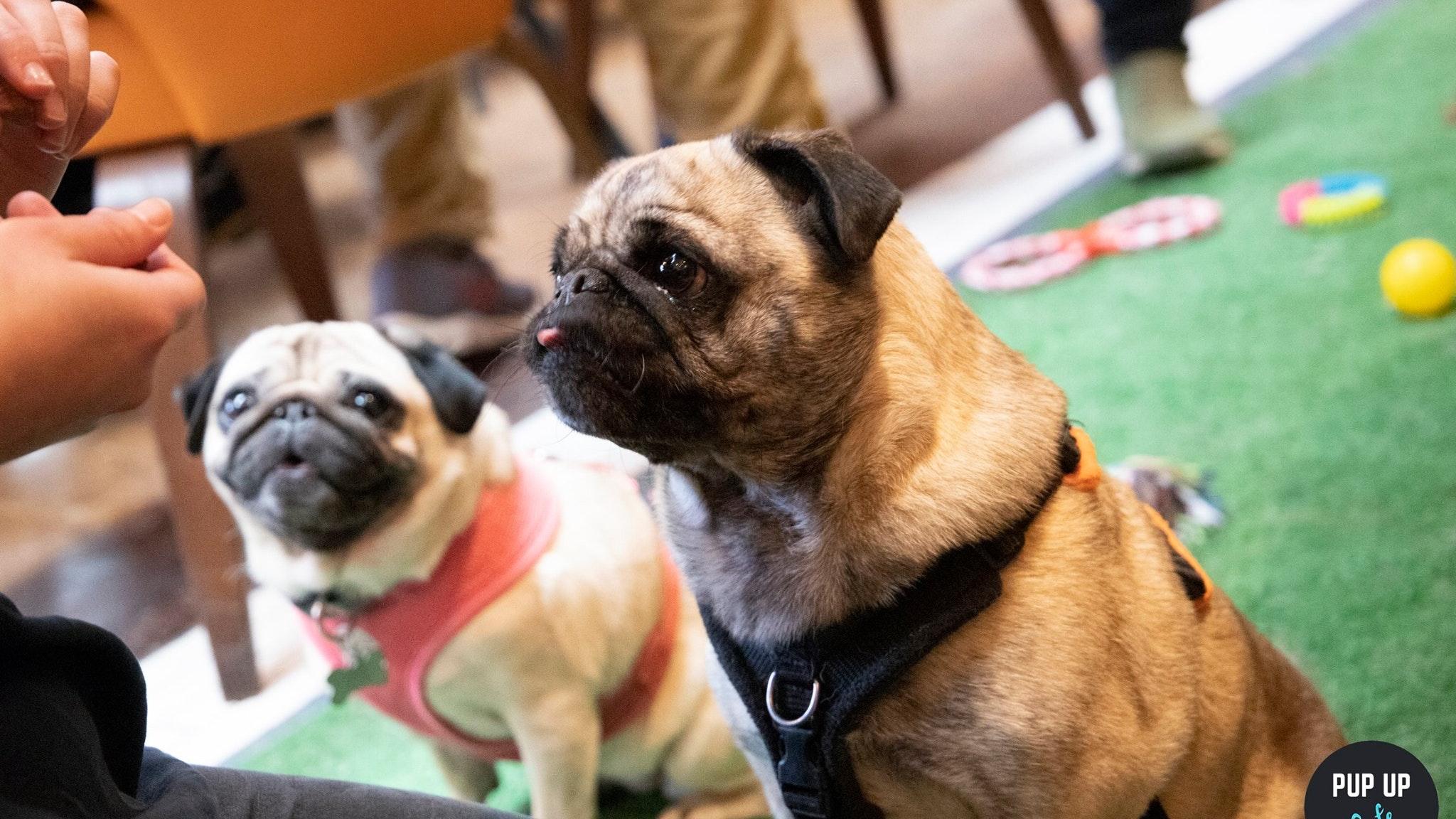 Pug Pop Up Cafe – York