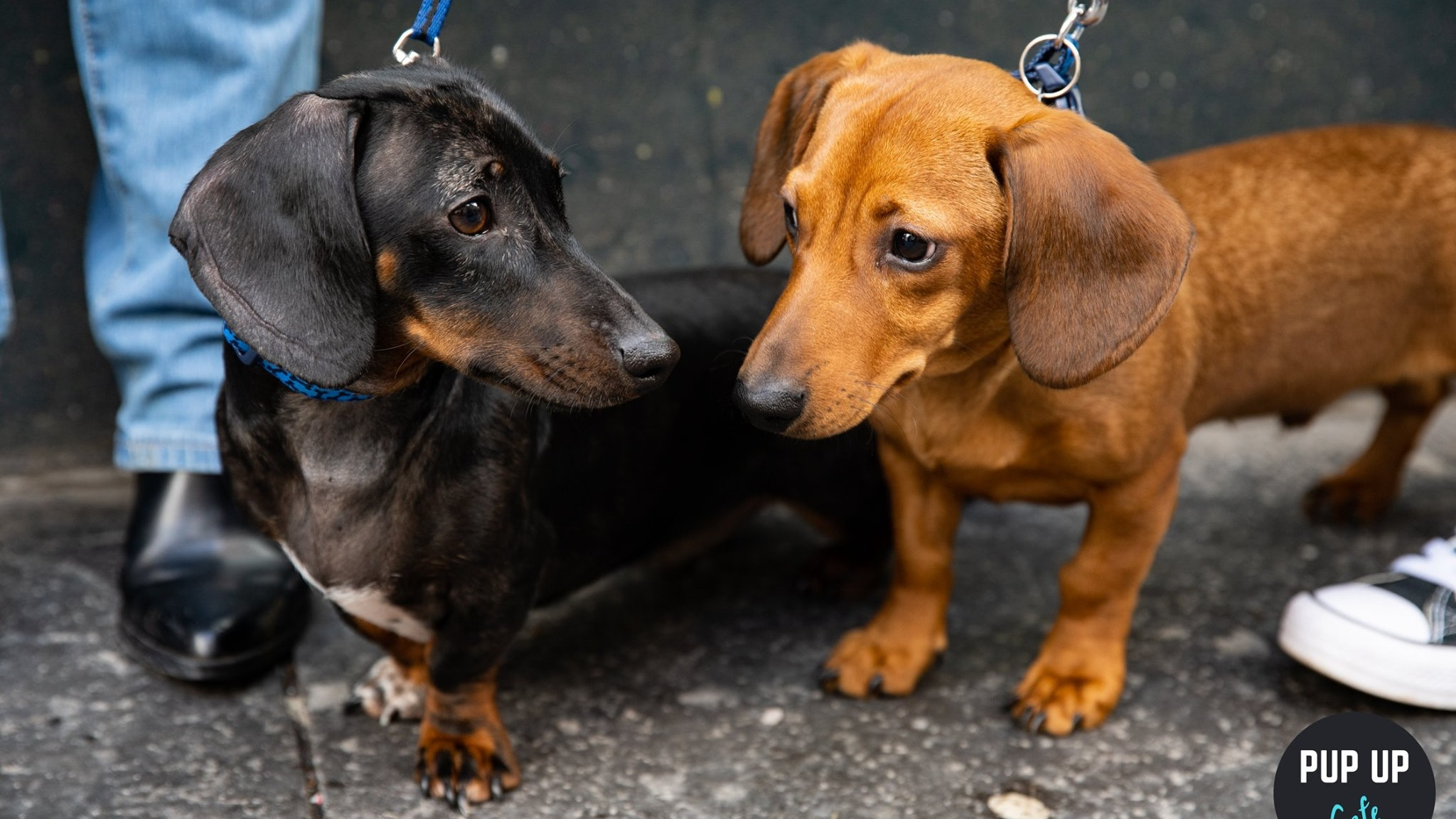 Dachshund Pup Up Cafe – Putney
