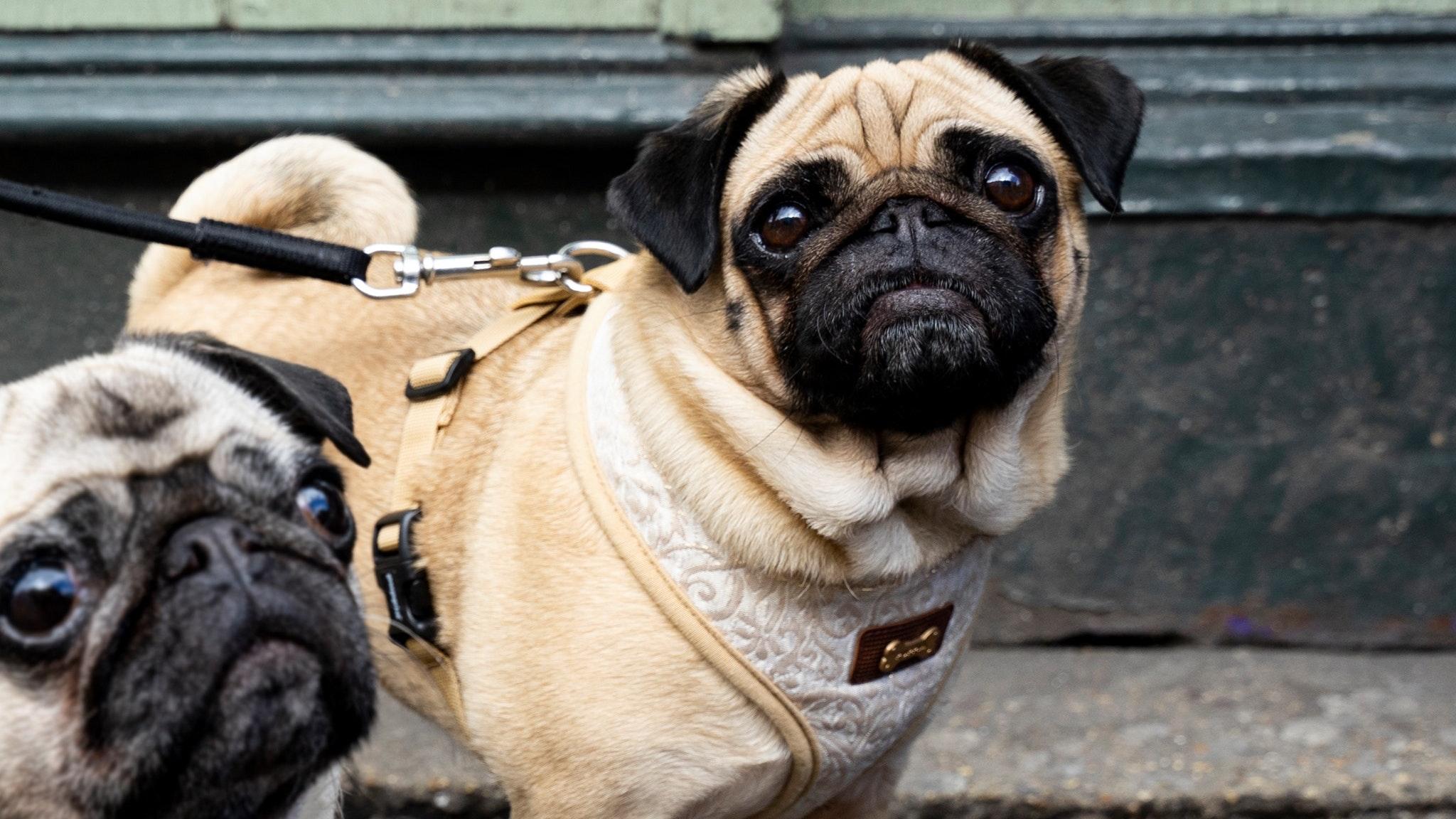Pug Pup Up Cafe – Brighton