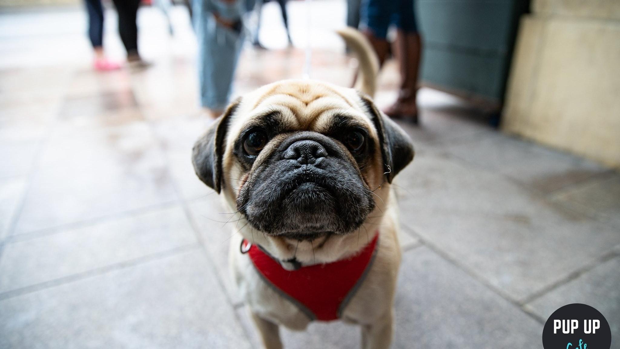 Pug Pop Up Cafe – Cardiff