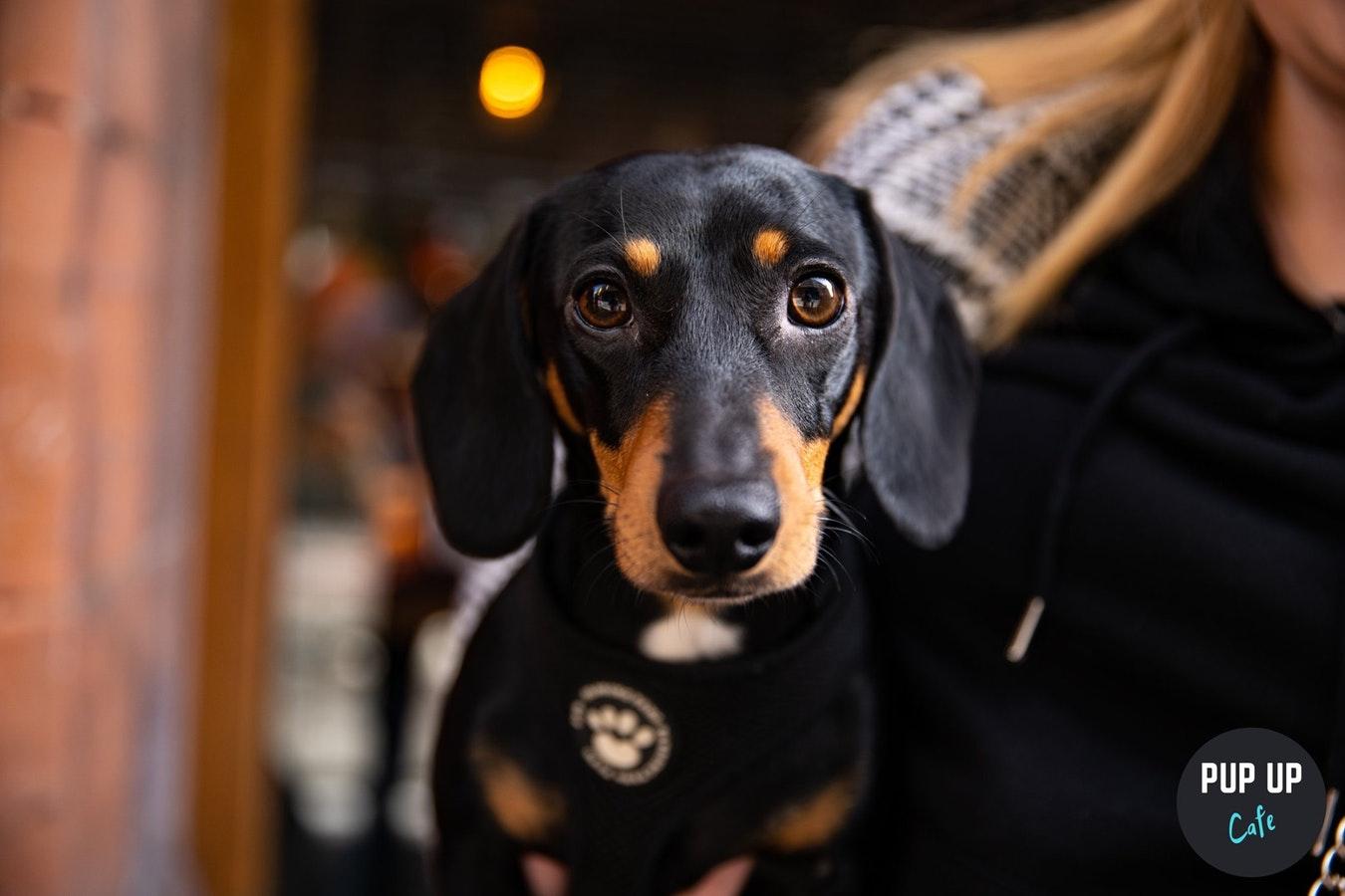 Dachshund Pup Up Cafe – Birmingham