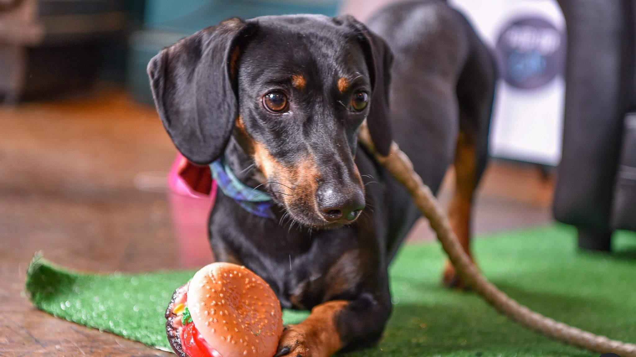 Dachshund Pup Up Cafe – Sheffield