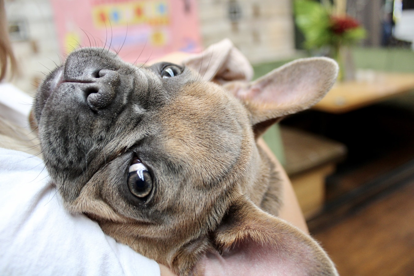 Frenchie Pup Up Cafe – London