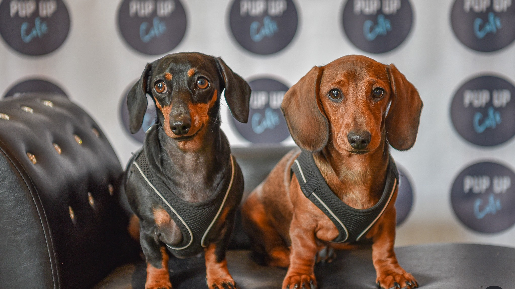 Dachshund Pup Up Cafe – Solihull