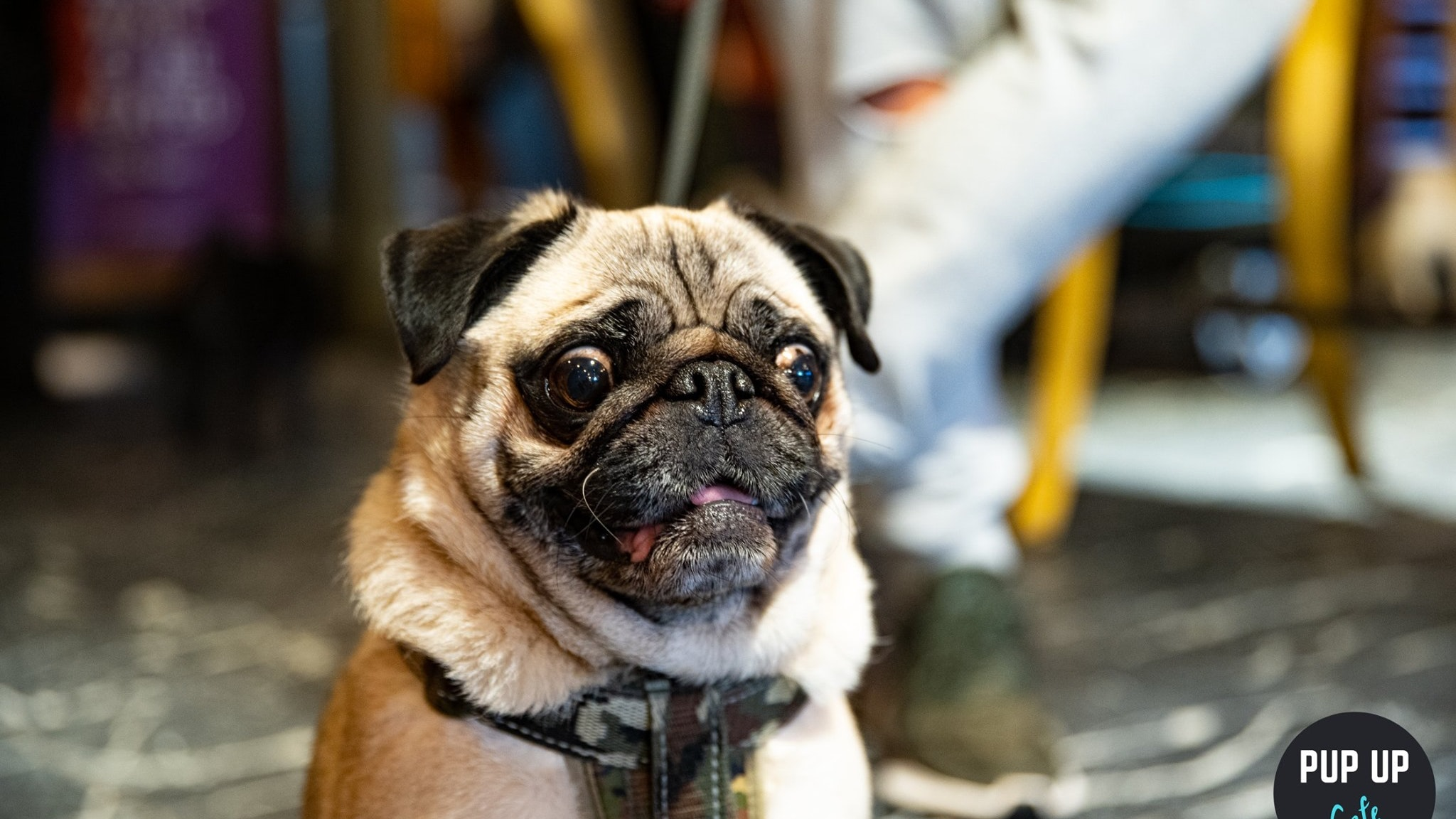 Pug Pup Up Cafe – Nottingham