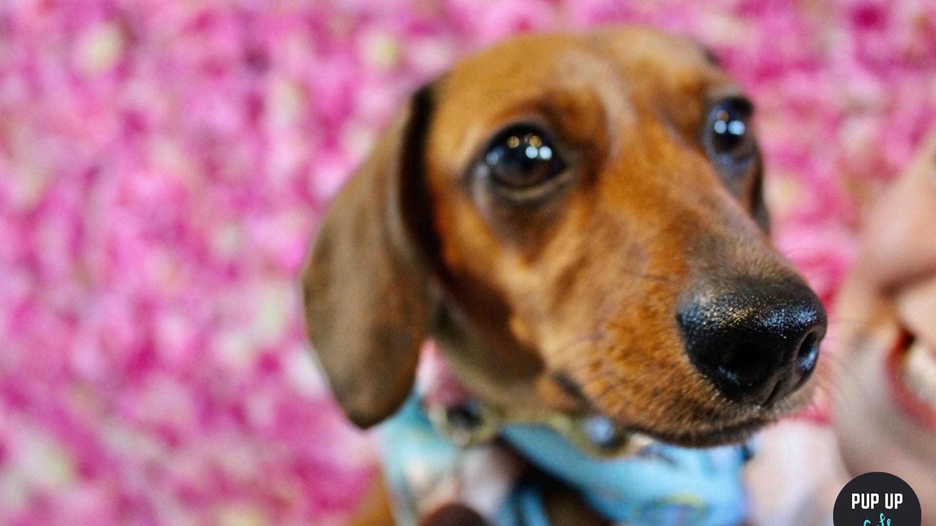 Dachshund Pup Up Cafe – Leeds
